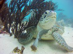 """#Akumal , su significado es """"Lugar de tortugas"""" en lengua maya, Puedes nadar junto a este simpático y sociable animal en la misma bahía de Akumal"""