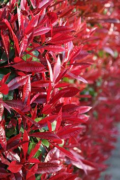 Photinia × fraseri 'Red Robin'  (Evergreen)  Glansmispel
