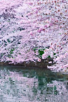 Magnificent cherry tree reflected in water.   Via Symphony of the Elements