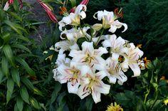 Lilii RS Garden