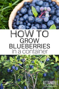 Growing blueberries is a great way to produce some of your own fruit. You dont need a lot of space - they do great in containers.