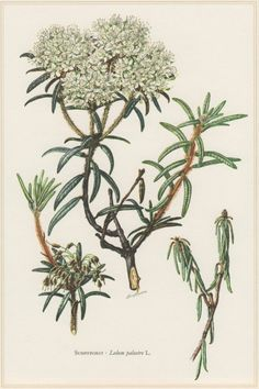 1960 Botanical Print Rhododendron tomentosum Ledum by Craftissimo