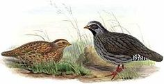 The Himalayan Quail (Ophrysia superciliosa) or Mountain Quail is a medium-sized quail belonging to the pheasant family. It was last reported in 1876 and is feared extinct. This species was known from only 2 locations (and 12 specimens) in the western Himalayas in Uttarakhand, north-west India. The last verifiable record was in 1876 near the hill station of Mussoorie.