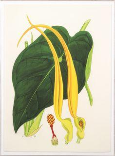 Elliottiana Lilies 4 | Natural Curiosities