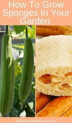 Learn how to grow luffa gourds and enjoy year round natural bath sponges for the entire family. Pick them early for a delicious treat ; Natural Sponge, Comment Planter, Home Vegetable Garden, Veggie Gardens, Herbs Garden, Organic Gardening Tips, Organic Vegetables, Organic Fruit, Gardening For Beginners