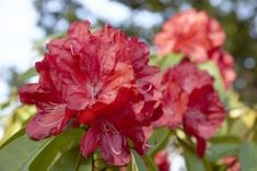 Azaleas and cold weather can mesh if you pick the right cultivars and provide the right care.s also possible to find azaleas that grow in high elevations. This article has information about caring for azaleas in mountain climates and cooler regions. Peach Tree Care, Peach Trees, Gardening Zones, Gardening Tips, Planting, Indoor Gardening, Organic Gardening, Rhododendron Care, Zone 5 Plants