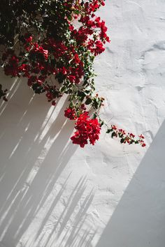 bougainvillea on white wall in venice, california hues red ochre flowers beautiful delicate alive 851180398298112047 Flowery Wallpaper, Aesthetic Pastel Wallpaper, Aesthetic Wallpapers, Bedroom Wall Collage, Photo Wall Collage, Picture Wall, Flower Aesthetic, Red Aesthetic, Red Flowers