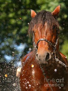 #horses #polishdrafthorse draft horse