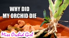 Why did my Orchid die? Our orchid fails - our greatest teachers