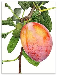 The most impressive watercolor I've seen, to achieve that opaqueness on the skin of the fruit is incredible! by Anna Knights watercolor