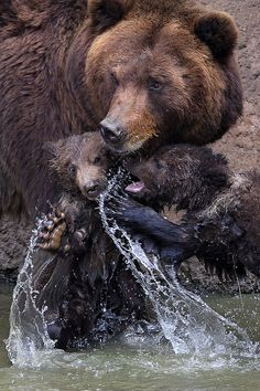 Kamchatka bear twins named Cuba and Toby, with their mother. Kamchatka bear is the largest subspecies of brown bear, weighing up to 1000 kg. Nature Animals, Animals And Pets, Baby Animals, Funny Animals, Cute Animals, Baby Pandas, Wild Animals, Beautiful Creatures, Animals Beautiful