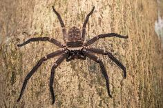 Facts and information you should consider about Huntsman spiders