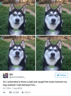 Very interesting post: 15 Funny Pictures. Husky Find a Way Out of Any Situation!сom lot of interesting things on Funny Dog. Cute Funny Animals, Funny Animal Pictures, Funny Cute, Funny Dogs, Funny Husky, Funny Memes, Dog Pictures, Husky Meme, Siberian Husky Funny