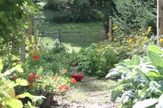 Cosmos and geraniums bring some color to the overwhelmingly green veggie garden.