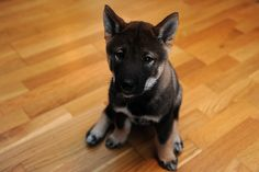 Shikoku puppy! I think this will be our next dog in addition to our Shiba Inu