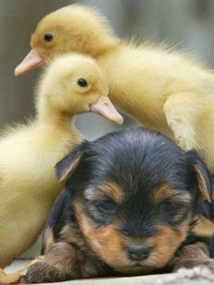 Ducklings and dog