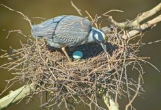 Before a recent storm, this yellow-crowned night heron nest above the Jones Falls had five eggs. Photo by: Thomas Andres Bird Nests, After The Storm, Bird Watching, Heron, Pilgrim, Eggs, Birds, Night, Yellow