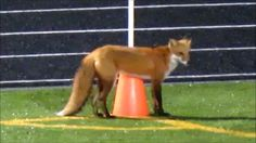 fox at the game 2016