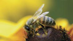 Pesquisa aponta que 70% das abelhas têm resíduos de agrotóxicos - Um estudo do Sindicato Nacional da Indústria de Produtos para a Defesa Vegetal (Sindiveg) com as universidades Unesp e UFScar aponta que 70,8% das abelhas usadas na amostragem apresentam resíduos de agrotóxicos, principalmente das substâncias pirazol (64,7% dos casos), neonicotinoides (29,4% das o - http://acontecebotucatu.com.br/geral/pesquisa-aponta-que-70-das-abelhas-tem-residuos-de-agrotoxicos/