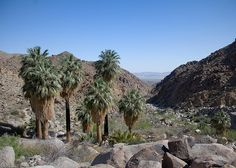 """oasis described as ``a cluster of (guess how many?) California Fan Palms in a boggy area""""...so obviously a very different oasis than the one at the inn..."""