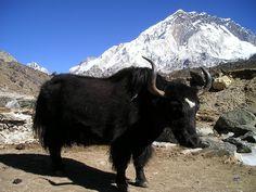 Непал Як для рабочего стола