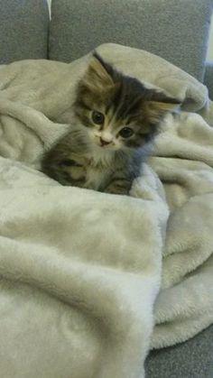 Cléo, chaton Européen, kitten