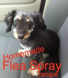 DIY Homemade Flea Spray Recipe!!! #Dogs #Fleas #FleaRemedy