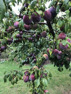 The wide open spaces of Summer - Ben Pentreath Inspiration Fruit Tree Garden, Fruit Plants, Fruit Trees, Grape Vineyard, Fruits Photos, Charcuterie And Cheese Board, Amazing Gifs, Fruit Photography, Nature Wallpaper