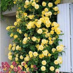 Роза плетистая Голден Шауэрс в Беккер