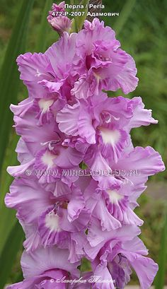 Hd Flower Wallpaper, Beautiful Flowers Wallpapers, Gladiolus Flower, Hollyhock, Love Flowers, House Plants, Perennials, Nature, Plant Leaves