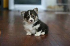 Precious Puppy Corgi! | Curig FaerieTale Dusky Willow | ©Juliana du Pree, Curig & FaerieTale Pembroke Welsh Corgis