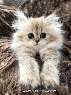 Cute Fluffy Kittens, Kittens Cutest, Cats And Kittens, Buy A Kitten, Kitten For Sale, Beautiful Kittens, Beautiful Babies, Persian Kittens For Sale, Very Scary