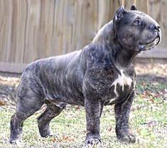 Mollosso Presa Mayo - the concept of new breed! Chien Bull Terrier, Pitbull Terrier, Giant Dogs, Big Dogs, Huge Dog Breeds, Rare Dogs, Expensive Dogs, Carlin, Bully Dog