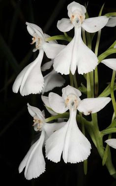 Habenaria dentata, White Flowers on black background Strange Flowers, Unusual Flowers, Unusual Plants, Rare Flowers, Exotic Plants, Amazing Flowers, White Flowers, Beautiful Flowers, Bouquet Flowers