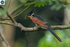 ☎️ https://www.facebook.com/WonderBirdSpecies/ ❣️❣️ Chestnut-winged cuckoo/Red-winged crested cuckoo (Clamator coromandus); Western Himalayas to the eastern Himalayas and extends into Southeast Asia;  IUCN Red List of Threatened Species 3.1 : Least Concern (LC)(Loài ít quan tâm)  Chim Khát nước; Từ phía tây đến phía đông dãy Himalayas và xuống đến Đông Nam Á; HỌ CU CU-CUCULIDAE (Common cuckoos, Roadrunners, Koels, Malkohas, Couas, Coucals and Anis).