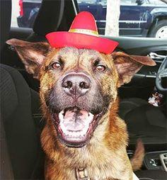 Pet Owner(s): Sidney Evangelista Pet: Tebow (Dutch Shepherd)