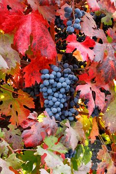 Red Grapes and Vine Leaves, Chile | HOBERMAN