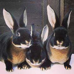 black velvet bunnies