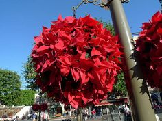 Poinsettia Ball Hanging Basket | About.com