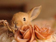 Achtergrond Dier beelden - een mooie bruine konijn foto.