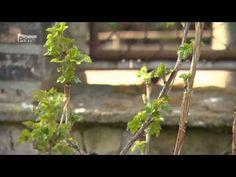 Jarný posterek ríbezlí - YouTube Herbs, Youtube, Plants, Herb, Flora, Plant, Youtube Movies, Planting