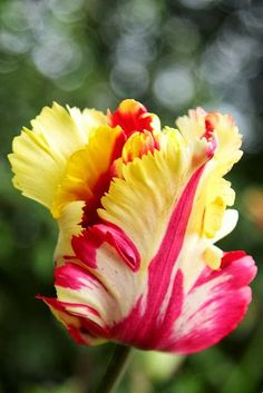 Flowers Tulip by Metrisk on Flickr