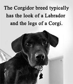 Features of Welsh Corgi-Labrador Retriever mix (Corgidor)