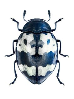 A beautiful Barytopus surinamensis, Navy blue, black and white beetle. Cool Insects, Flying Insects, Bugs And Insects, Beetle Insect, Beetle Bug, Insect Art, Cool Bugs, Scary Bugs, Bug Art