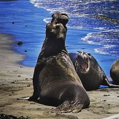 Urgh is school really starting. This summer in the central coast went to fast. Elephant seals. #centralcoasting #sansimimon #californiawildlife