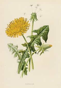 Google Image Result for http://www.collectorsprints.com/_images/botanical/wild/yellow-02-2.jpg