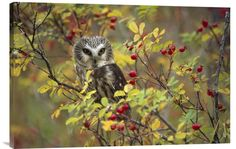 buy positive wall art photo Northern Saw-whet Owl Perching in a Wild Rose Bush at www.explosionluck.com