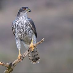 A large and powerful bird of prey, the northern goshawk was traditionally revered as a symbol of strength. All Birds, Birds Of Prey, Love Birds, Beautiful Birds, Animals Beautiful, N Animals, Cute Animals, Image Avion, Northern Goshawk