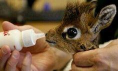 Tiny giraffe drinking from a bottle.