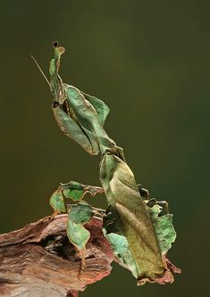 The Ghost mantis mimics withered leaves by its dark body covered in leaf-like… Cool Insects, Bugs And Insects, Beautiful Bugs, Amazing Nature, Beautiful Pictures, Beautiful Creatures, Animals Beautiful, Adorable Animals, Camouflage